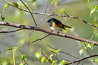 American Redstart (Setophaga ruticilla) perched in a tree, Annapolis Royal Marsh, French Basin trail, Annapolis Royal, Nova Scotia, Canada,