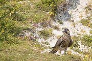 Peregrine (Falco peregrinus) juvenile on cliff edge. Sussex, UK.