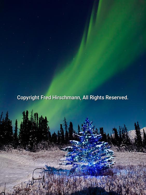 Green Northern Lights  dancing beyond Christmas Tree during the full moon on the night of January 4, 2015, Glacier View, Alaska.