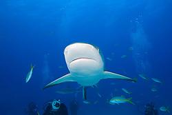 Caribbean Reef Sharks, Carcharhinus perezii, and scuba divers, West End, Grand Bahamas, Atlantic Ocean