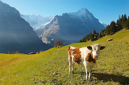 Alpine Cow with Eiger - Bernese Alps Switzerland .<br /> <br /> Visit our SWITZERLAND  & ALPS PHOTO COLLECTIONS for more  photos  to browse of  download or buy as prints https://funkystock.photoshelter.com/gallery-collection/Pictures-Images-of-Switzerland-Photos-of-Swiss-Alps-Landmark-Sites/C0000DPgRJMSrQ3U