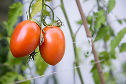 Organic red plum tomatoes on vine in vegetable garden, Munich, Bavaria, Germany