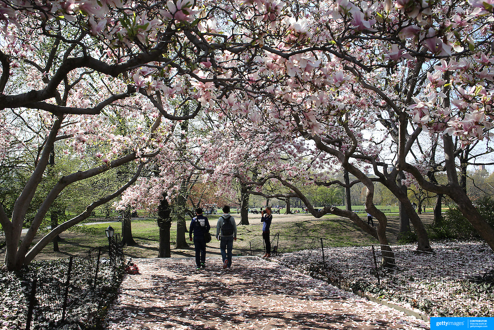 Blossoming tree's during a warm spring day in Central Park, Manhattan, New York, USA. Photo Tim Clayton