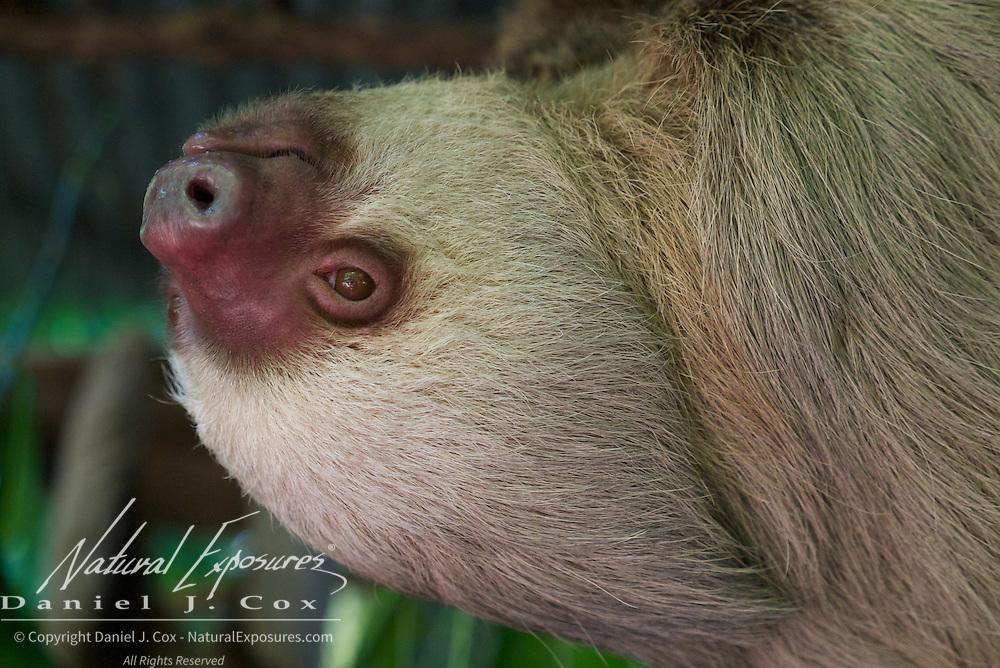Hoffman's two-toed sloth, OSA Sanctuary. CostaRica (Captive)