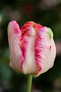 Tulipa 'Apricot Parrot'  a pink and apricot tulip with fringed and fluted petals