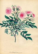 ROSA Peimsylvanica ; Var. flore pleno, Pennsylvanian Rose; Double-flowered Variety From the book Roses, or, A monograph of the genus Rosa : containing coloured figures of all the known species and beautiful varieties, drawn, engraved, described, and coloured, from living plants. by Andrews, Henry Charles, Published in London : printed by R. Taylor and Co. ; 1805.