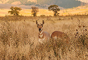 Young Pronghorn Antelope (Male) in Meadow Grand Teton National Park