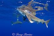 oceanic whitetip sharks, Carcharhinus longimanus, with pilot fish, Naucrates ductor, Kona Coast, Hawaii Island ( the Big Island ) Hawaiian Islands ( Central Pacific Ocean )