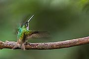 Andean emerald (Agyrtria franciae)<br /> Mindo<br /> Cloud Forest<br /> West slope of Andes<br /> ECUADOR.  South America<br /> HABITAT & RANGE: