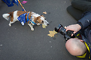 On the day that Prime Minister Theresa May petitions her cabinet on the current negotiations to leave the EU, media photograph a pro-Europe terrier dogs, on 14th November 2018, in London, England.