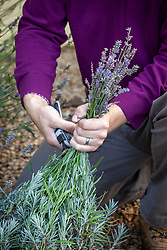 Cutting back lavender after it has finished flowering