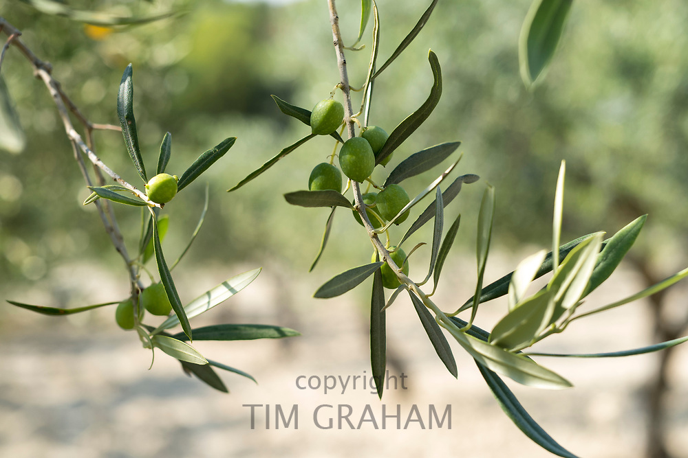 Nocellara del Belice Sicilian green olives growing for extra virgin olive oil production at Azienda Agricola Mandranova at Palma di Montechiaro in Sicily