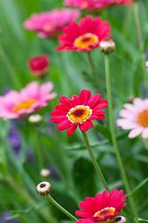 Argyranthemum 'Cherry Red'