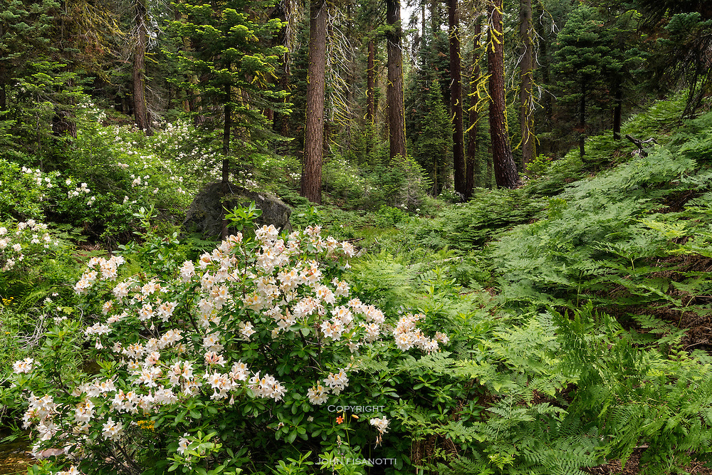 Western Azaleas bloom in Indian Canyon Creek, Yosemite National Park.