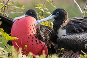 A male and female Magnificient Frigatebird courting on a nesting site.