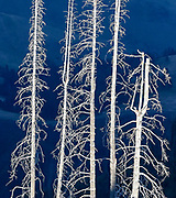 Dead trees appear as ghostly images during sunset in the Wallowa-Whitman National Forest.