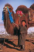Bactrian camels (Camels bactrians) & nomad<br /> Gobi Desert<br /> Mongolia