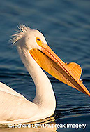 00671-008.10 American White Pelican (Pelecanus erythrorhynchos)  Riverlands Environmental Demonstration Area,  MO