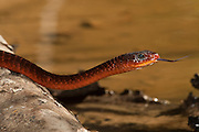 Fire Snake (Chironius scurrulus) Feeds on frogs and lizards<br /> Rainforest<br /> Rewa River<br /> GUYANA. South America<br /> RANGE: Northern South America and Trinidad and Tobago.