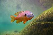 Longear Sunfish<br /> <br /> Isaac Szabo/Engbretson Underwater Photography