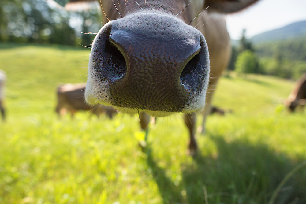 Nose detail of a Brown Swiss Cow