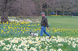 © Licensed to London News Pictures 16/03/2021. Greenwich, UK. A man walking past the Daffodils with his dog. Spring Daffodils at Greenwich Park in London today as the Met Office forecast for the next few days is sunshine with some rain across the UK. Photo credit:Grant Falvey/LNP