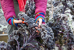 Harvesting red kale on a frosty day in winter