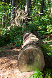 A Felled tree in Langsett wood on the North bank Langsett Reservoir situated on the Edge of the Peak District <br /> 07 October 2012.