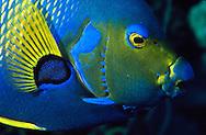 Queen Angelfish (Holacanthus ciliaris) Bonaire