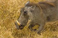 Warthog, Camp Jabulani, Kapama Private Game Reserve, near Kruger National Park, South Africa