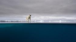 Polar bear (Ursus maritimus) on drifting sea ice north of 80 degree North, Svalbard, Norway