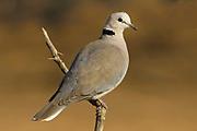 Cape turtle dove, Streptopelia capicola, Limpopo, South Africa, perched,