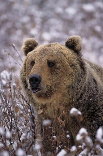 Grizzly Bear, (Ursus horribilis) Adult. Rocky mountains. Montana. Winter. Captive Animal.