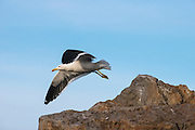 Kelp gull (Larus dominicanus), also known as the Dominican gull<br /> Bettys Bay<br /> Western Cape<br /> SOUTH AFRICA