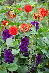 Dahlia 'Happy Halloween' with Gladiolus 'Purple Flora'