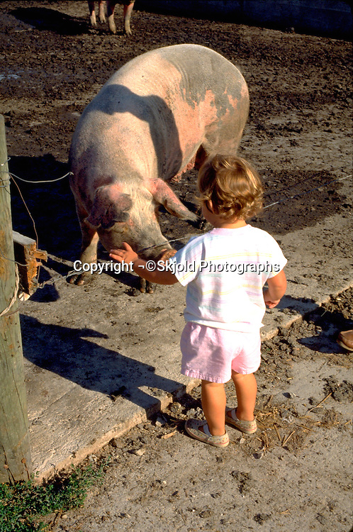 Toddler age 2 looking at pig on farm.  Beaver Dam Wisconsin USA