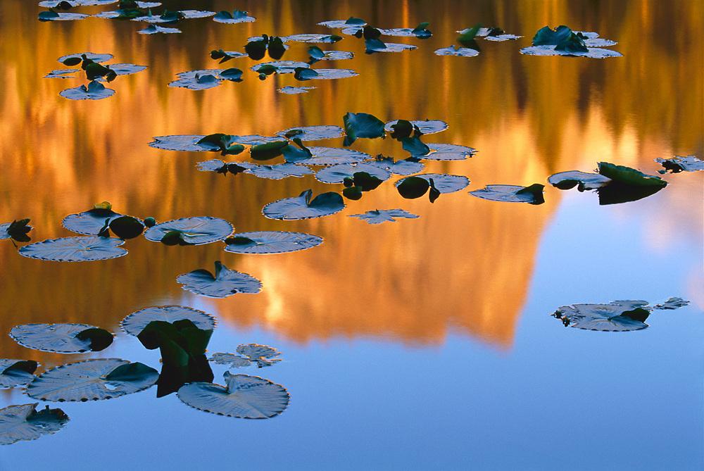 Waterlilies, morning light, summer, Nymph Lake, Rock Mountain National Park, Colorado, USA