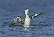 Red-throated Diver - Gavia stellata - winter. L 55-65cm. Swims low in water, head and dagger-like bill tilted upwards. Dives frequently. Sexes are similar. Adult in summer has blue-grey on face and sides of neck, red throat and black-and-white lines on back and lower sides of neck. Upperparts are otherwise brownish grey and underparts are whitish. In winter, grey upperparts are spangled with small white spots; underparts are white. Juvenile is similar to winter adult but grubby-looking. Voice Mostly silent. Status Scarce breeding species; nests beside freshwater pools. Outside breeding season, found in shallow coastal seas; locally common in winter.