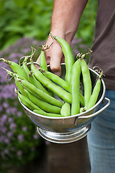 Freshly picked broad beans in a colander