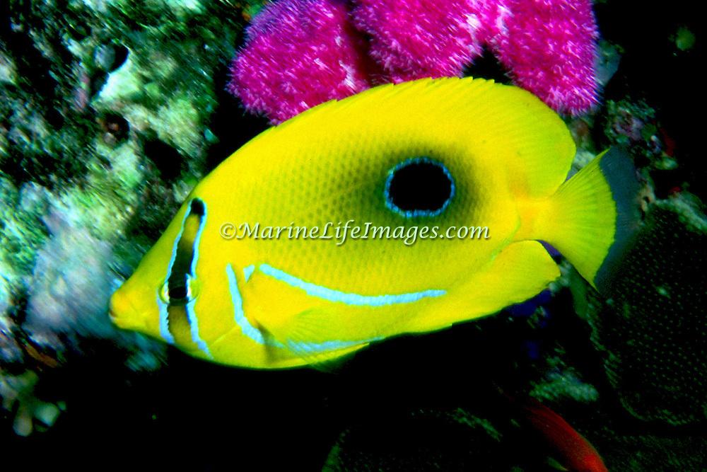 Eclipse Butterflyfish inhabit reefs. Picture taken Fiji.