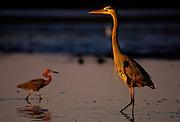 Great Blue Heron and Reddish Egret in early morning light - Sanibel Island, Florida