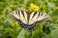 Appalachian Tiger Swallowtail Butterfly, Great Smoky Mountains, missing part of its wing. Photo taken July 27, 2018.