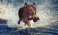 Police Dog on the german Island Foehr