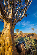 "The Quiver Tree Forest (Kokerboom Woud in Afrikaans) is a forest and tourist attraction of southern Namibia. It is located about 14 km north-east of Keetmanshoop, on the road to Koës, on the Gariganus farm. It comprises about 250 specimens of Aloe dichotoma, a species of aloe that is also locally known as ""quiver tree"" (Afrikaans: kokerboom) because bushmen traditionally used its branches to make quivers. The forest is spontaneous; the tallest quiver trees are two to three centuries old. The forest was declared a national monument of Namibia on June 1, 1995.<br /> Aloe dichotoma (the quiver tree or kokerboom) is a tall, branching species of aloe, indigenous to Southern Africa, specifically in the Northern Cape region of South Africa, and parts of Southern Namibia."