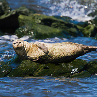 A harbor seal suns itself on exposed rocks on the bay side Sandy Hook National Park part of the National Gateway Recreation Area.   Seal sighting are relatively rare in the park.