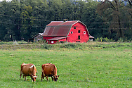 A red barn and a pair of dairy cows grazing in a field at Glen Valley in Langley, British Columbia, Canada.