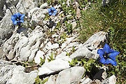 Gentiana alpina growing on rocks, Haute-Garonne, Pyrenees.