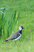 Northern Lapwing, Vanellus vanellus, also known as Peewit or Pewit<br /> on the Isle of Mull in Inner Hebrides and Western Isles of Scotland