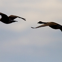 A pair of Canadian Geese flying on a overcast day