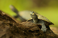 Yellow-spotted river turtle (Podocnemys unifilis) on Anangu lagoon in Yasuni National Park, Orellana Province, Ecuador